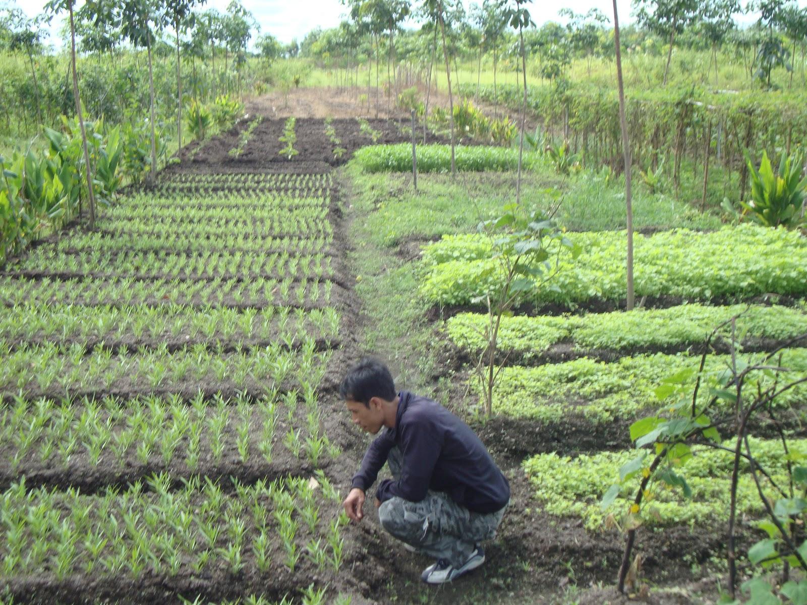 lahan gambut pertanian